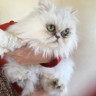 ペルシャ猫 4歳 メス