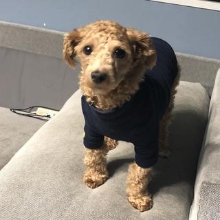 1歳5ヵ月 チワプー MIX犬の男の子