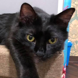 【空(くう)くん】とっても甘えん坊な中毛の黒猫