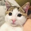 超元気で抱っこと猫大好きハッちゃん。3ケ月オス