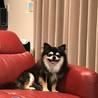 保護犬のチワワのノア君  サムネイル3