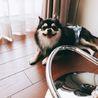 保護犬のチワワのノア君  サムネイル4