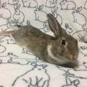 ミニウサギ♀セイちゃん