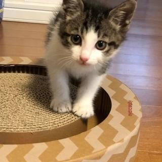 1カ月半の可愛い子猫