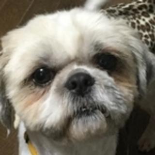 保護犬ナンバーD1301 シーズー