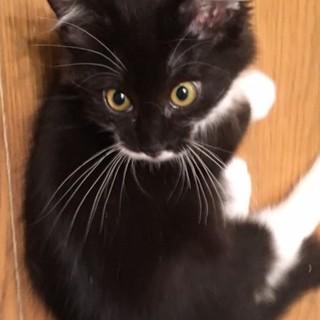 長毛のタキシードの子猫です。
