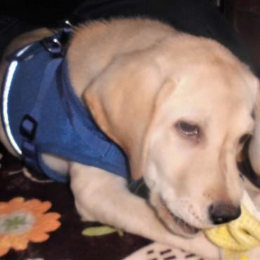 さて、立派な盲導犬になれるでしょうか??