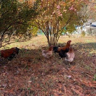 ペットの鶏 比内鶏 ペア 4匹