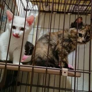 とっても可愛いサビ子猫ちゃん2ヶ月♪