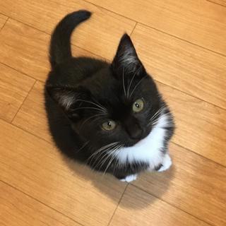 ☆黒白タキシード&マスク柄白ソックスの子猫メス☆