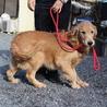 5才2か月の女の子 ~繁殖犬引退~ サムネイル4