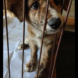 生後3か月 トラ柄 琉球犬MIX仔犬 男の子