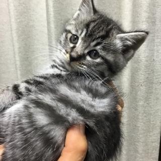 可愛い子猫②  キジトラ(黒)女の子
