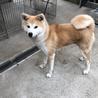 元気で可愛い一歳の秋田犬の女の子