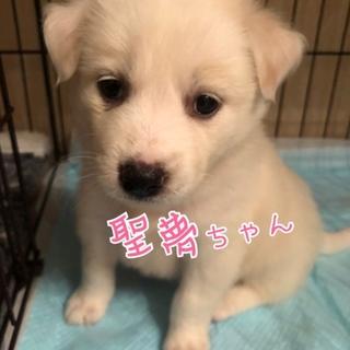 白モフ❤️ 聖夢ちゃん 1ヶ月半