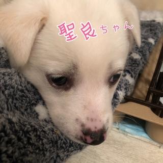 白フワ ❤️ 聖良ちゃん 1ヶ月半