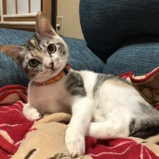 ほっこり可愛い丸顔三毛猫の「きなこ」ちゃん