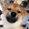 赤柴犬 約3ケ月半 オス