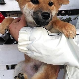 赤柴犬 2ケ月半 オス