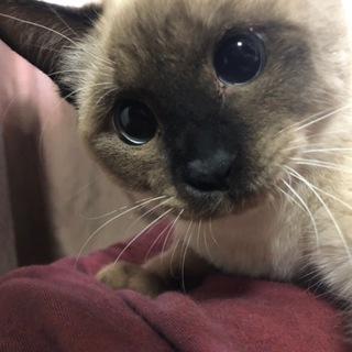 おめめがまんまるなシャムちゃんみたいな猫