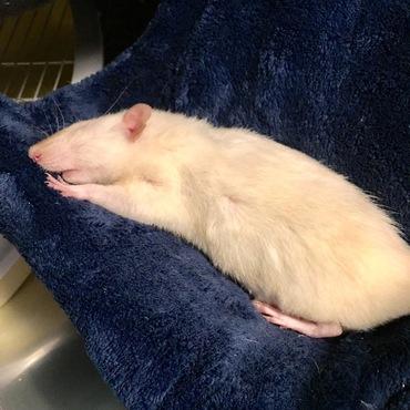 フェレットではありませ〜ん。ネズミも長いのよー