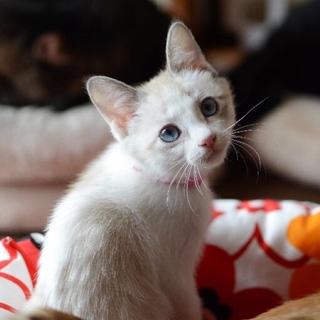 シャム系ブルーアイ美猫【なこ】