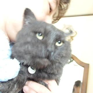 むちむち黒猫(内側白毛)