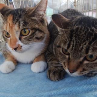 姉妹のように仲良しです♪6ヵ月の子猫さちとえり