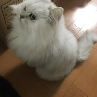 ペルシャ猫/チンチラシルバー/メス/ふわふわ長毛