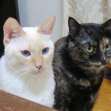 ほぼ黒猫と白猫 年賀状用にいい写真撮れました