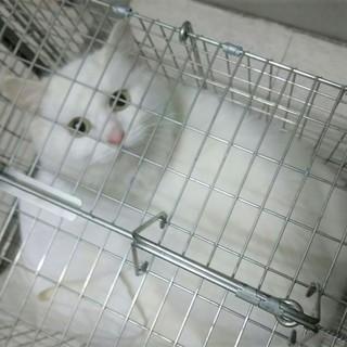急募!白長毛美猫お外に戻します動画あり
