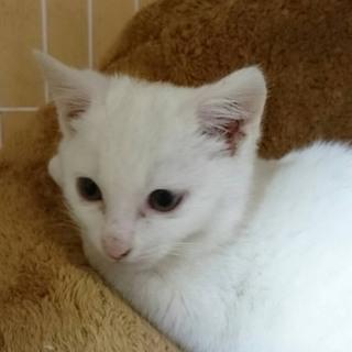うさぎのしっぽみたいな白猫ちゃん
