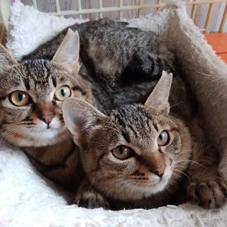 美人の姉妹子猫♪楓ともみじ6ヵ月の女の子♪