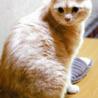 クリームトラの穏やか猫  藤岡近辺①