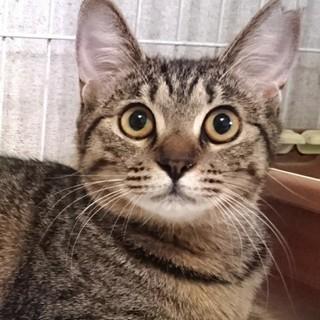 かわいいお顔のサバトラ中猫ちゃん!