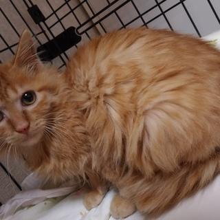 3ヶ月弱・茶トラ♀の長毛