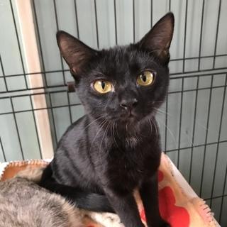 黒猫メス6ヶ月避妊手術済み