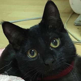 ジジ似の黒猫☆くりくりお目目のビビリ君♪5ヶ月齢