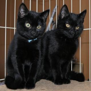 黒猫姉妹グレーちゃんの里親募集!
