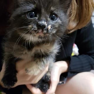 サビ柄の子猫の里親募集