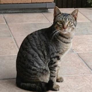 おとなしいキジトラオス猫