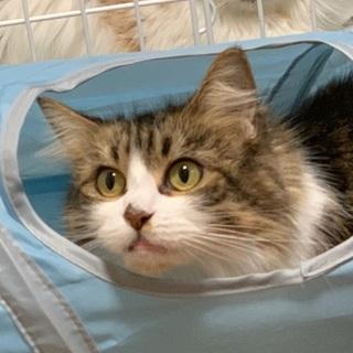 『グミィ』長毛の美猫さん。少し大柄系