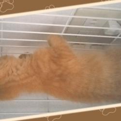 ケージの天井に飛び付くうちの茶トラ猫です