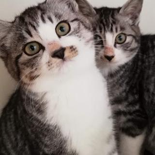 グレー系サバ白子猫、兄弟で!