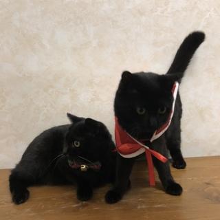 甘えん坊の黒猫  心太朗   7ヶ月くらい