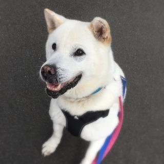 紀州犬のふぶきちゃん家族募集中です