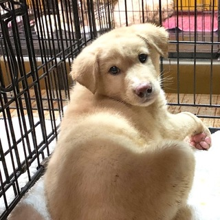 I★774 ゴールデン似の2カ月の子犬です。