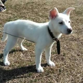 子犬 2月 白 メス