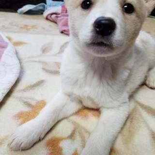 平塚市本日お見合い可  生後2か月 中型犬予想仔犬