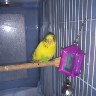 セキセイインコ1羽